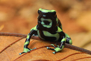 Green and Black Poison Frog (Dendrobates auratus), Corcovado National Park, Costa Rica  -  Visuals Unlimited