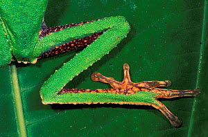 Close up of the leg, foot, and toe pads of the White-lined leaf frog (Phyllomedusa vaillanti), Manu National Park, Peru  -  Visuals Unlimited