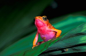 Harlequin / Cayenne Stubfoot Toad (Atelopus flavescens), Guayana, vulnerable species - Visuals Unlimited