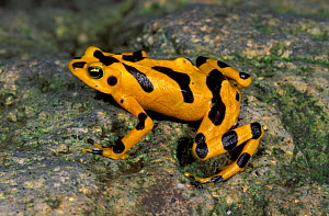 Cerro Campana Stubfoot Toad / Golden Frog (Atelopus zeteki), El Valle de Anton, Panama, Critically endangered species, some think possibly extinct in the wild. - Visuals Unlimited