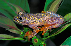 White Spotted reed frog (Heterixalus alboguttatus), Ranomafana National Park, Madagascar - Visuals Unlimited