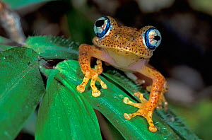 Close up of the head, toe pads, and eyes of Dumeril's bright-eyed frog (Boophis tephraeomystax), Andasibe-Mantadia National Park, Madagascar - Visuals Unlimited