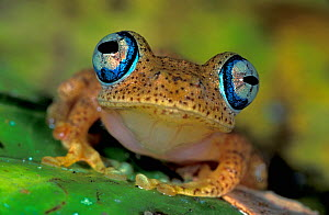 Close up of the head and eyes of Dumeril's Bright-eyed Frog (Boophis tephraeomystax), Andasibe-Mantadia National Park, Madagascar - Visuals Unlimited