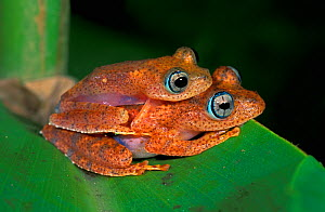 Dumeril's Bright-eyed Frogs (Boophis tephraeomystax) mating pair, Andasibe-Mantadia National Park, Madagascar - Visuals Unlimited