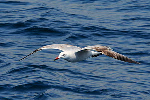 Immature Audouin's gull (Ichthyaetus audouinii) flying low over the sea. Near Ajaccio, Corsica, France, May. - Nick Upton