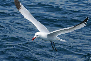 Audouin's gull (Ichthyaetus audouinii) hovering low over the sea. Near Ajaccio, Corsica, France, May. - Nick Upton