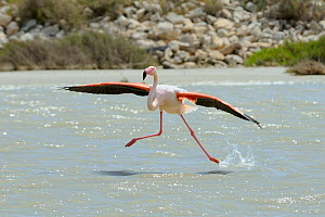 Single Greater flamingo (Phoenicopterus ruber) running on water surface as it lands in a lagoon, The Camargue, France, May.  -  Nick Upton