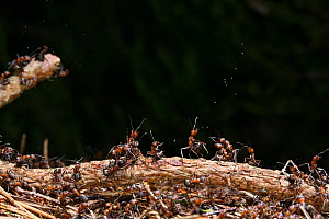 Wood Ant (Formica rufa) workers defending the nest by ejecting droplets of formic acid, UK.  -  Kim Taylor