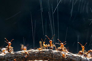 Wood Ant (Formica rufa) workers on top of their nest synchronise ejection of formic acid droplets to maximise deterrent effect on potential predator, UK. Commended in the Audubon Society of Greater De...  -  Kim Taylor