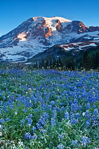 Mt. Rainier from Mazama Ridge with Lupines (Lupinus latifolius) covered in frost in the foreground, dawn, Mt. Rainier NP, Washington, USA, August 2010  -  Rob Tilley
