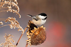 Black-capped Chickadee (Poecile atricapillus) attracted to feed on sunflower seedhead in winter, New York, USA, February  -  Marie Read