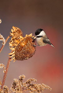 Black-capped chickadee (Poecile atricapillus) taking seed from sunflower seedhead in winter, New York, USA, (Digitally retouched - eye highlight added) February  -  Marie Read