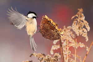 Black-capped Chickadee (Poecile atricapilla) landing to feed from sunflower seedhead in winter, New York, USA  -  Marie Read