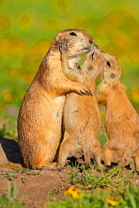 Black-tailed Prairie Dogs (Cynomys ludovicianus), two pups (right) seem to be kissing their parent. The behaviour is a gesture of recognition and identification among members of a social group of thes...  -  Marie Read