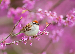Chipping Sparrow (Spizella passerina), perched in flowering Eastern redbud tree, New York, USA (Digitally retouched image - twig at L) May  -  Marie Read