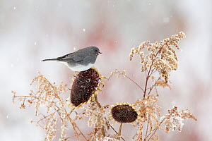 Dark-eyed junco (Junco hyemalis), slate-coloured race, male, feeding at sunflower seedhead in winter, New York, USA, February  -  Marie Read