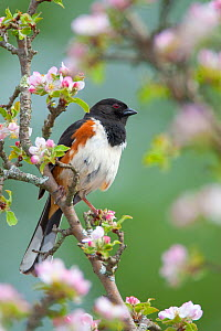 Eastern / Rufous-sided towhee (Pipilo erythrophthalmus), male perched amongst apple blossom in spring, New York, USA, May  -  Marie Read