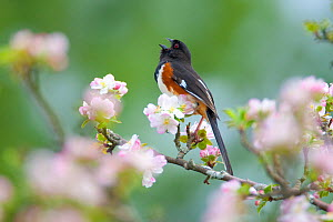 Eastern / Rufous-sided towhee (Pipilo erythrophthalmus), male singing, perched amongst apple blossom in spring, New York, USA, May  -  Marie Read