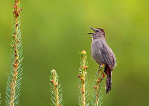 Grey Catbird (Dumetella carolinensis) perched, singing, New York, USA, July - Marie Read
