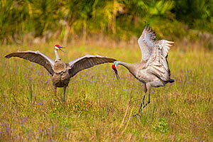 Florida sandhill cranes (Grus canadensis) (Florida race), pair dancing in courtship display, Kissimmee, Florida, USA, March  -  Marie Read