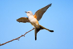 Scissor-tailed Flycatcher (Tyrannus forficatus) calling and displaying with wings and tail outspread, Wichita Mountains National Wildlife refuge, Oklahoma, USA, May - Marie Read
