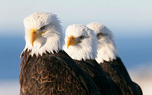 American bald eagle (Haliaeetus leucocephalus) three perched, Homer, Alaska, Jan - Barry Bland