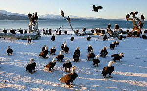 American bald eagle (Haliaeetus leucocephalus) large flock on snow, Homer, Alaska, January 2008  -  Barry Bland
