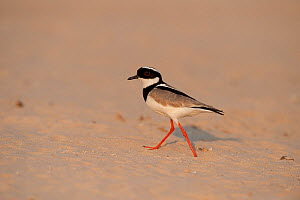 Pied Lapwing / Plover (Vanellus cayanus) walking on river sand. Parana, Southern Brazil.  -  Patricio Robles Gil