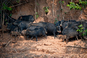 White-lipped Peccary (Tayassu albirostris / pecari) herd, adults and young. Parana, Southern Brazil. - Patricio Robles Gil