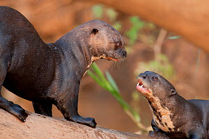 Two Giant River Otters (Pteronura brasiliensis) playing on a log. Parana, Southern Brazil.  -  Patricio Robles Gil