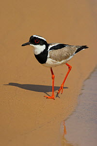 Pied Lapwing / Plover (Vanellus cayanus) walking on river sands. Parana, Southern Brazil.  -  Patricio Robles Gil