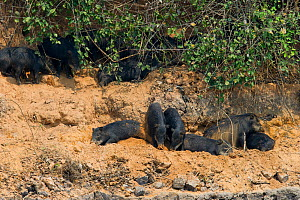 White-lipped Peccary (Tayassu albirostris / pecari) resting in shade and digging in river bank. Parana, Southern Brazil. - Patricio Robles Gil