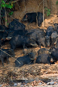 White-lipped Peccary (Tayassu albirostris / pecari) resting in shade on river bank. Parana, Southern Brazil. - Patricio Robles Gil