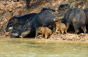 White-lipped Peccary (Tayassu albirostris / pecari) adults and piglets drinking at river bank. Parana, Southern Brazil. - Patricio Robles Gil