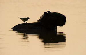 Silhouetted Capivara / Capibara (Hydrochoerus hydrochaeris) with Cattle Tyrant (Machetornis rixosa), which feeds on flies approaching the Capibara. Parana, Southern Brazil.  -  Patricio Robles Gil