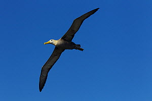 Waved Albatross (Phoebastria irrorata) in flight, soaring, Galapagos, Critically endangered - Tim Laman