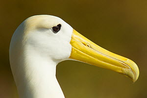 Waved albatross (Phoebastria irrorata) head portrait, Galapagos, Critically endangered - Tim Laman