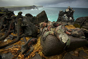 Marine Iguanas (Amblyrhynchus cristatus) on the south coast of Espanola Island, Galapagos, Vulnerable species - Tim Laman
