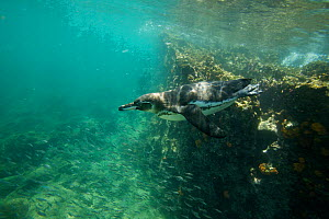 Galapagos penguin (Spheniscus mendiculus) swimming off the coast of Bartolomew Island, Galapagos, Endangered species - Tim Laman
