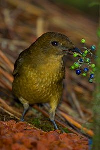 Vogelkop bowerbird (Amblyornis inornata) holding berries used to decorate bower. Dec 2004  -  Tim Laman