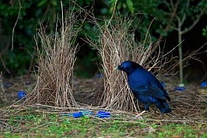 Satin Bowerbird (Ptilonorhynchus violaceus) male at his bower with many blue plastic decorations. Lamington National Park, Queensland, Australia, August 2008  -  Tim Laman