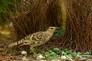 Great Bowerbird (Chlamydera nuchalis) male at his bower decorated with green fruit and shells. James Cook University Campus, Townsville, Queensland, Australia, August 2008 - Tim Laman
