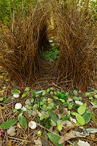 Great Bowerbird (Chlamydera nuchalis) bower with green fruit and other decorations. James Cook University Campus, Townsville, Queensland, Australia, August 2008 - Tim Laman