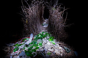 Great Bowerbird (Chlamydera nuchalis) bower with green glass, plastic toy elephant, toy soldier, and other decorations. Photographed at night by light painting with flashlight/torch. Townsville, Queen... - Tim Laman