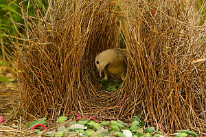 Great Bowerbird (Chlamydera nuchalis) male in his bower. The bower has various green and white and some red decorations including green fruits and various manmade objects. Located on the campus of Jam...  -  Tim Laman