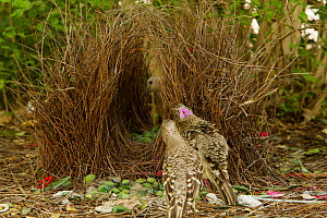 Great Bowerbird (Chlamydera nuchalis) male in front of his bower bowing and showing his pink crest to encourage the female (visible through the bower) to enter it. A young male watches. Bower is deco... - Tim Laman