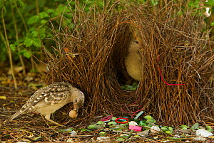 Great Bowerbird (Chlamydera nuchalis) male displaying to a female who has entered his bower. He holds one of his prize decorations (a brown fruit) in his beak. The bower has green and white and some r... - Tim Laman