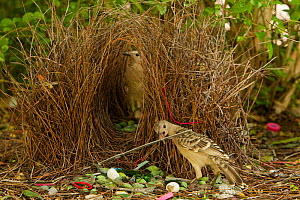 Great Bowerbird (Chlamydera nuchalis) male displaying to a female who has entered his bower. He holds one of his prize decorations (a piece of grey plastic) in his beak. The bower has green and white...  -  Tim Laman