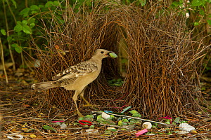 Great Bowerbird (Chlamydera nuchalis) male poses holding a green fruit decoration in his beak to lure a nearby female to his bower. The bower has green and white and some red decorations including gre... - Tim Laman