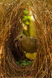 Great Bowerbird (Chlamydera nuchalis) male in his bower. The center of the bower avenue is decorated with green fruits. Located on the campus of James Cook University, Townsville, Queensland, Australi... - Tim Laman